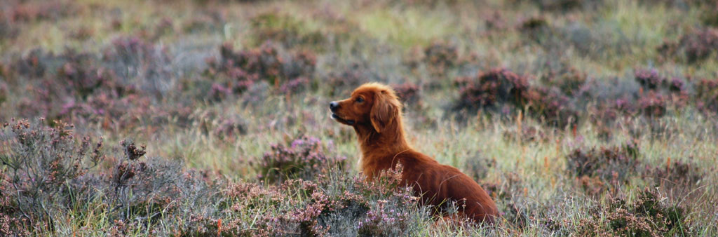 Red Setters are used to count Red Grouse numbers on Ballydangan Bog.